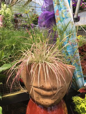 Fountain Grass Fireworks Pennisetum - Thriller